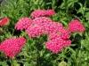 achillea-millifolium-cerise