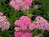 achillea-millifolium-pink