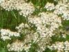achillea-millifolium-white