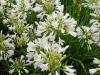 agapanthus-nana-white