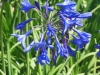 agapanthus-northern-star