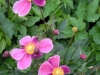anemone-japonica-hadspens-abundance
