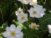 anemone-japonica-honorine-jobert_0