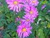 anemone-japonica-prinz-heineich