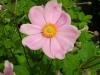 anemone-japonica-x-hybrida