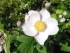 anemone-x-hybrida-robustissima