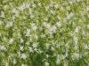 anthericum-ramosum