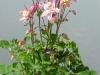 aquilegia-pink-and-white