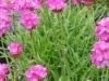 armeria-maritima-pink