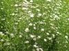 aster-ericoides-white