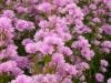 aster-novi-belgii-double-light-pink