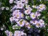 aster-novi-belgii-single-lilac