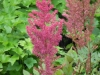 astilbe-tall-pink