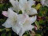 azalea-blushing-pink