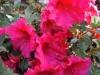 azalea-compact-cerise
