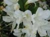 azalea-grandifolora-alba
