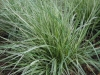calamagrostis-overdam