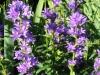 campanula-glomerata-purple-pixie