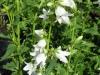 campanula-latifolia-alba