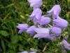campanula-rotundifolia