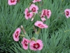 dianthus-pink-with-red-eye