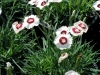 dianthus-white-with-red-eye