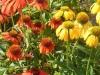 echinacea-purpurea-cheyenne-spirit