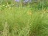 eragrostis-curvula