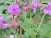 geranium-dalmaticum-deep-pink