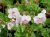 geranium-dalmaticum-pale-pink
