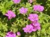 geranium-russell-pritchard
