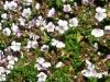 gypsophila-cerastiodes