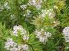 hebe-lavender-lace