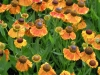 helenium-autumnale-sahims-early-flowerer-2