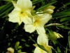 hemerocallis-joan-senior