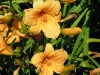 hemerocallis-little-pumpkin