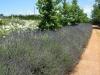 lavandula-angustifolia-english-lavender