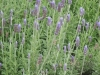 lavandula-dentata-fairholme-french