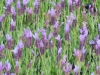 lavandula-stoechas-fairholme-fancy