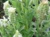 lavendula-stoechas-white