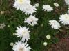 leucanthemum-georgeous-gussie