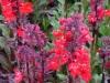lobelia-fanfare-scarlet