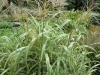 miscanthus-giant-variegated