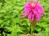 monarda-dydima-purple