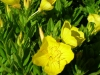 oenothera-fruticosa-tall-yellow