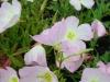 oenothera-speciosa-pink