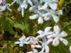 oxypetalum-caerulium