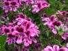 pelagonium-deep-pink-with-purple-eye