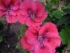 pelargonium-coral