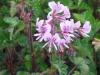 pelargonium-cordifolium-valentine